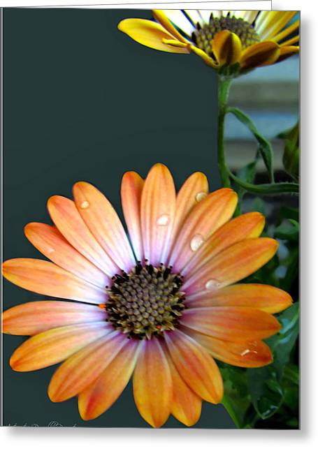 Macro Orange And Yellow Daisies With Water Droplets Greeting Card by Danielle  Parent