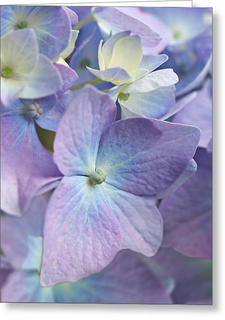 Violet Blue Greeting Cards - Macro Purple Hydrangea Flowers Greeting Card by Jennie Marie Schell