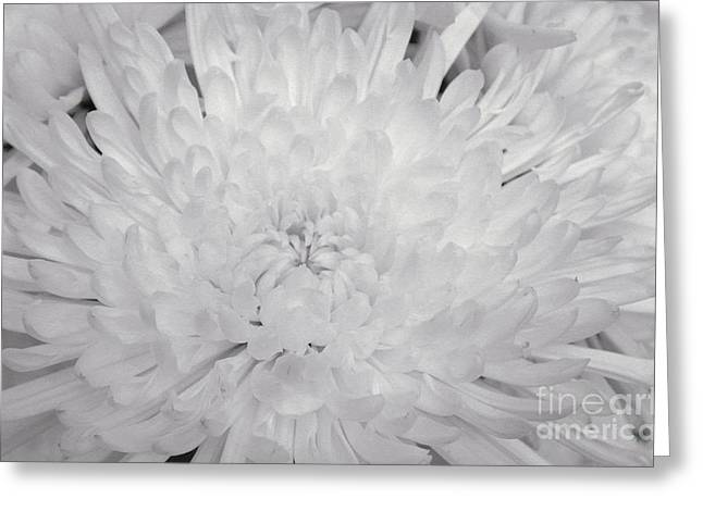 Macro Floral Photos Greeting Cards - Macro Spider Mum Greeting Card by Marsha Heiken