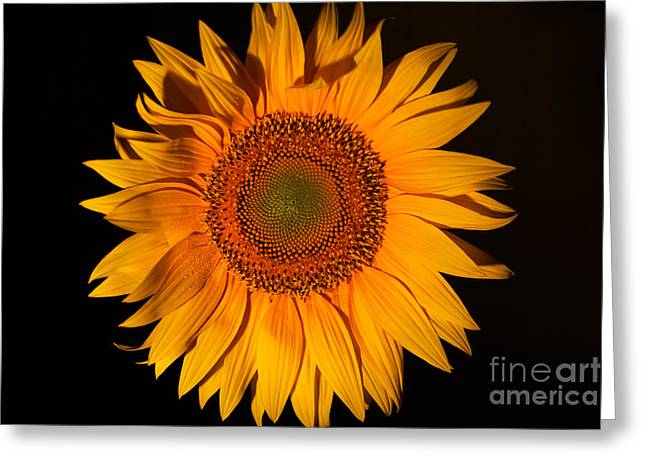Yellow Sunflower Pyrography Greeting Cards - Macro sunflower Greeting Card by Victor Georgiev