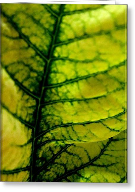 Macro Yellow Poinsettia Leaf Greeting Card by Danielle  Parent