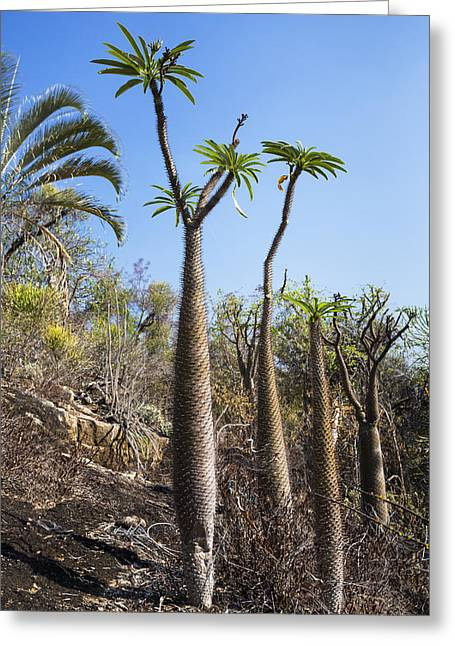 Madagascar National Park Greeting Cards - Madagascar Palm Trees Madagascar Greeting Card by Konrad Wothe