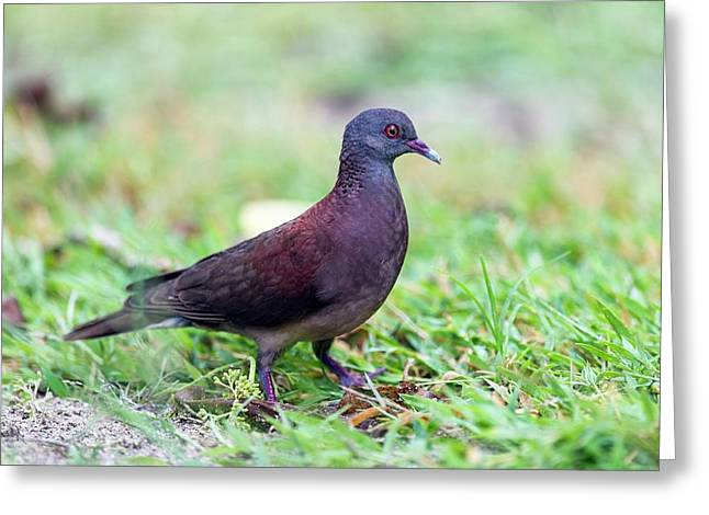 Madagascar Turtle Dove Greeting Card by Peter Chadwick