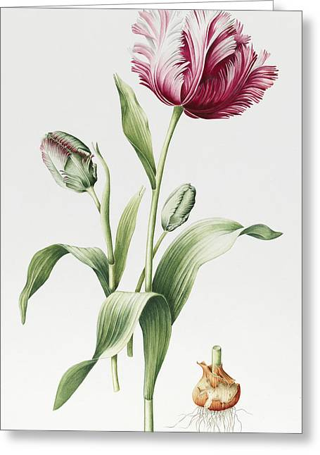 Tulip Blossom Greeting Cards - Madame Estelle Rynveld Greeting Card by Sally Crosthwaite