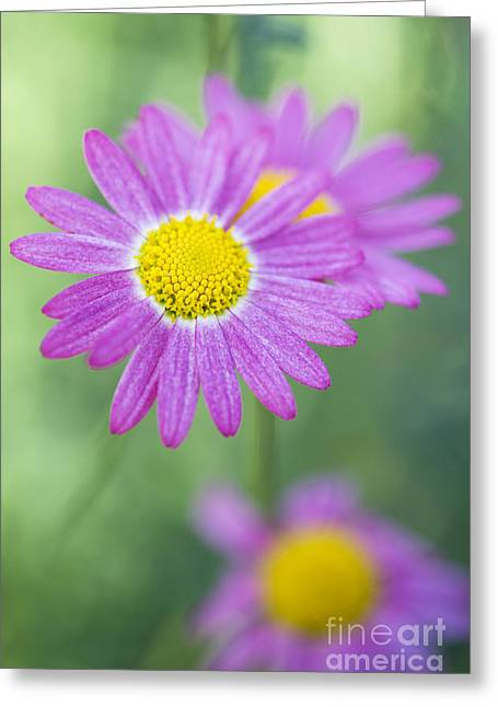 Deep Pink Greeting Cards - Madeira Deep Pink Daisy Greeting Card by Tim Gainey