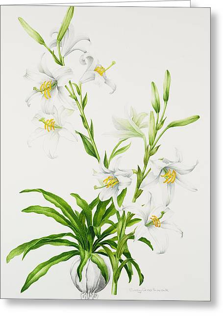 Madonna Lily Greeting Card by Sally Crosthwaite