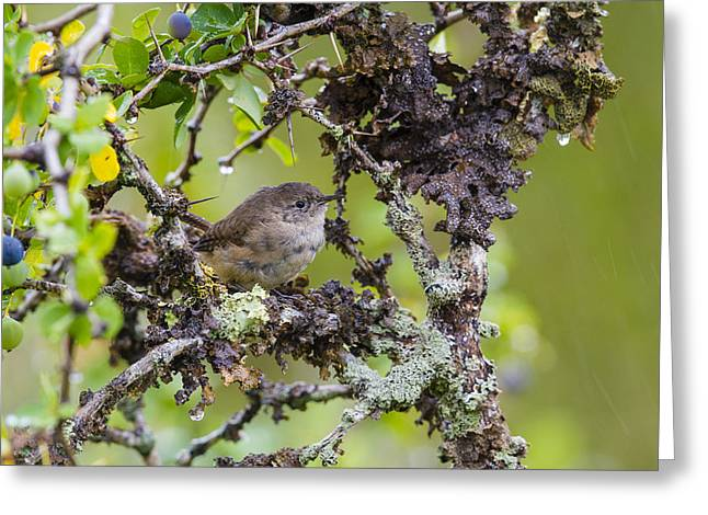 Magellanic Greeting Cards - Magallanic Tapaculo on the Hunt Greeting Card by Tim Grams