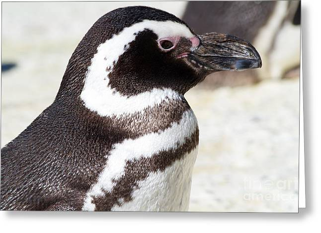 Magellanic Greeting Cards - Magellanic Penguin 7D9077 Greeting Card by Wingsdomain Art and Photography