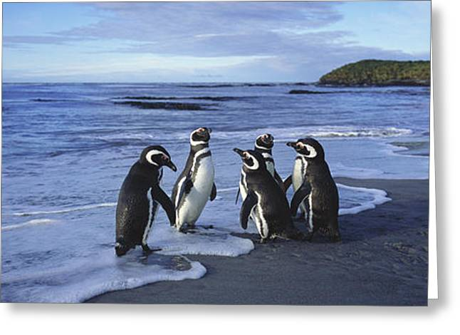 Magellanic Greeting Cards - Magellanic Penguin Trio On Beach Greeting Card by Hiroya Minakuchi