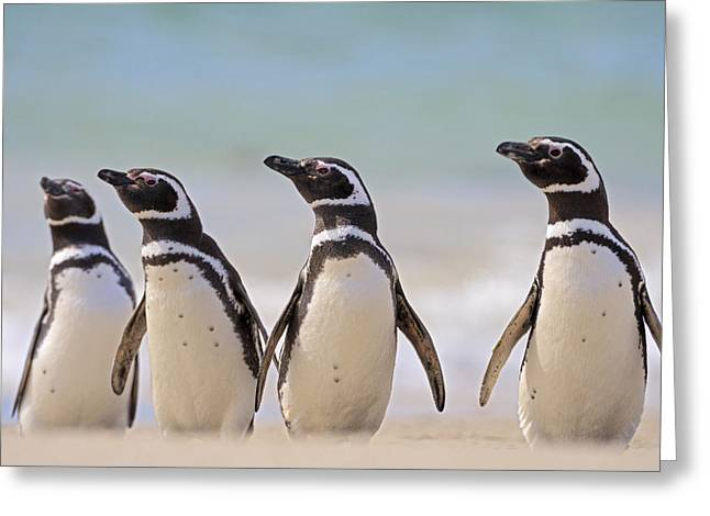Magellanic Penguins Carcass Island Greeting Card by Heike Odermatt