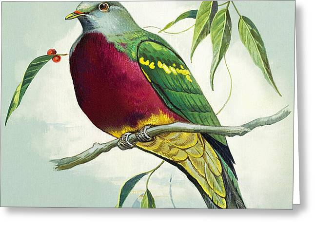 Magnificent Fruit Pigeon Greeting Card by Bert Illoss