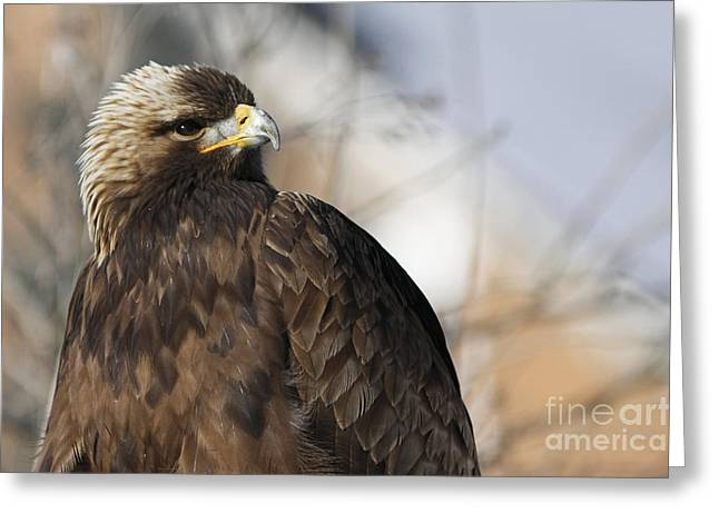 Magnificent Golden Eagle Hunting For Prey Greeting Card by Inspired Nature Photography Fine Art Photography