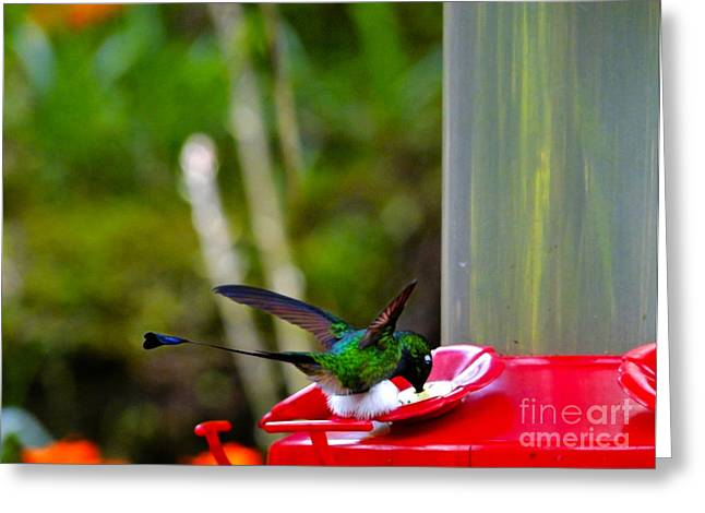 Racquet Greeting Cards - Magnificent Racket-Tail Hummingbird In Mindo Greeting Card by Al Bourassa