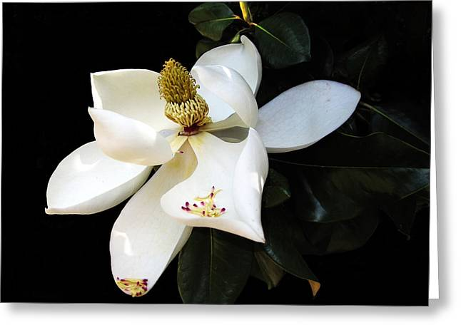 Floral Photographs Greeting Cards - Magnolia  Greeting Card by Ann Powell