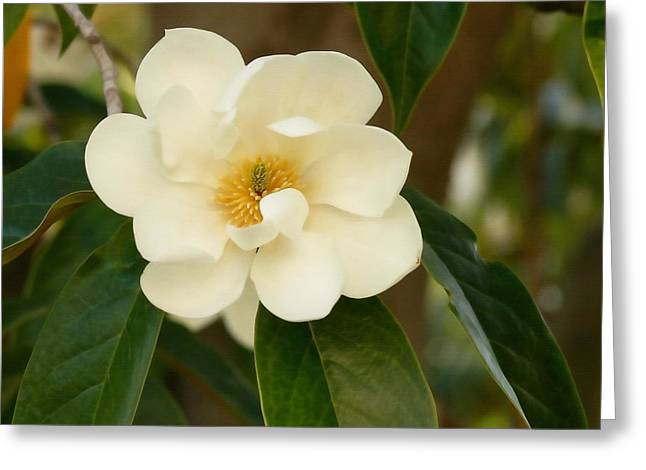 Renewing Greeting Cards - Magnolia Greeting Card by Art Block Collections