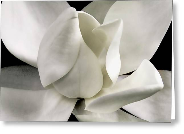 Magnolia Bloom Greeting Card by David Patterson