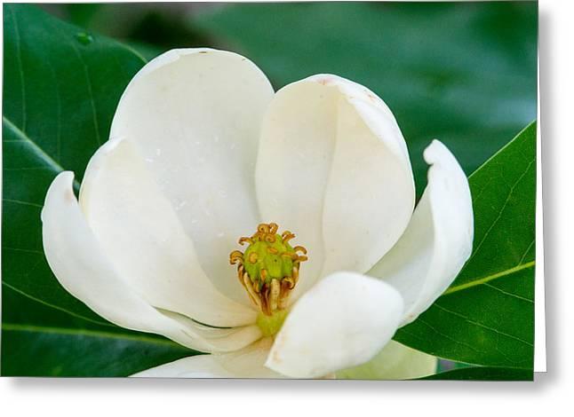 Magnolia Grandiflora Greeting Cards - Magnolia Blossom with Center Stamens Greeting Card by Douglas Barnett