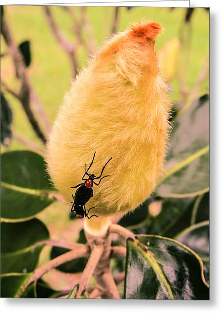 Magnolia Greeting Cards - Magnolia bud with lovebugs Greeting Card by Zina Stromberg