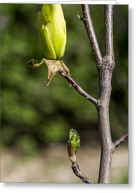 Steven Ralser Greeting Cards - Magnolia Buds Greeting Card by Steven Ralser