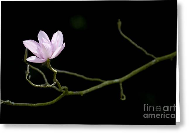 Tim Greeting Cards - Magnolia Campbellii Darjeeling Flower Greeting Card by Tim Gainey