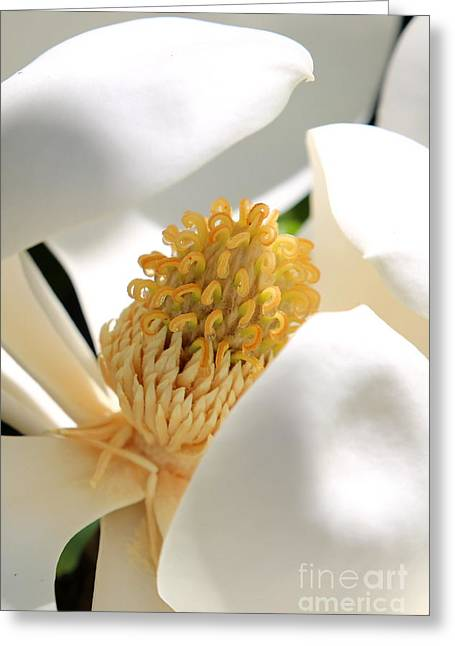 Southern Flowers Greeting Cards - Magnolia Center Greeting Card by Carol Groenen