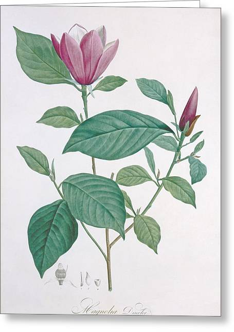 Spring Bulbs Greeting Cards - Magnolia discolor engraved by Legrand Greeting Card by Henri Joseph Redoute