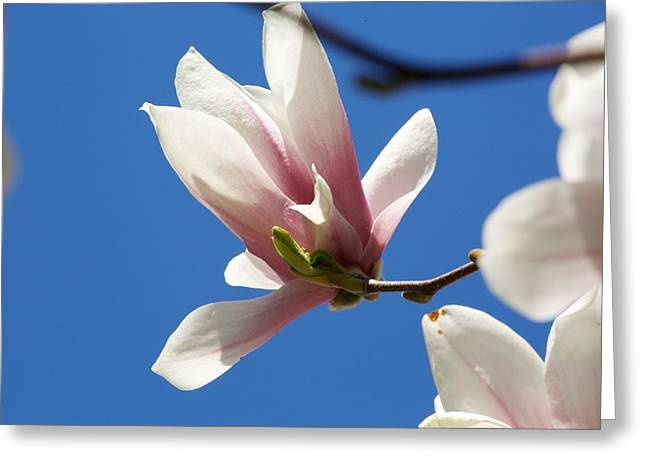 Concord Greeting Cards - Magnolia Flower Greeting Card by Allan Morrison