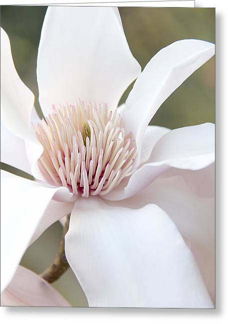 Magnoliaceae Greeting Cards - Magnolia Flower Blossom Greeting Card by Jennie Marie Schell