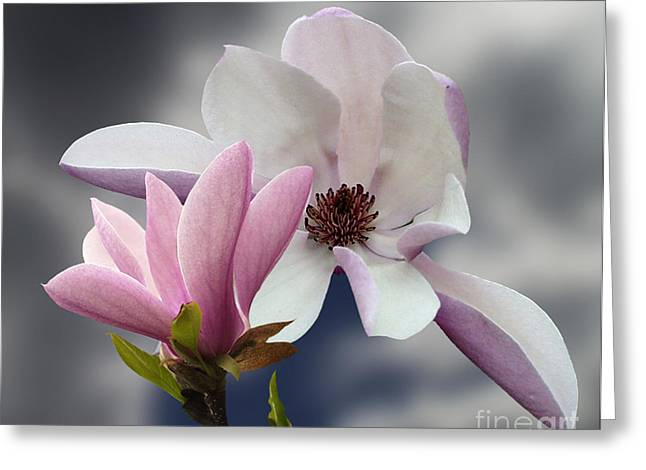 Dantzler Greeting Cards - Magnolia Flowers Greeting Card by Andrew Govan Dantzler