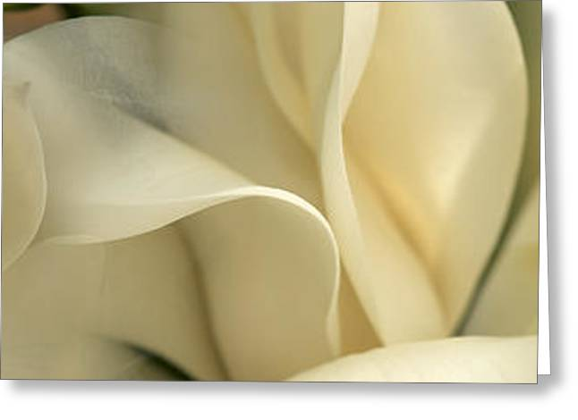 Botany Greeting Cards - Magnolia Flowers Greeting Card by Panoramic Images
