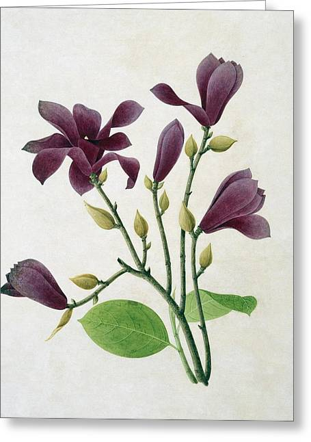 Flowered Greeting Cards - Magnolia liliiflora, 19th-century Greeting Card by Science Photo Library