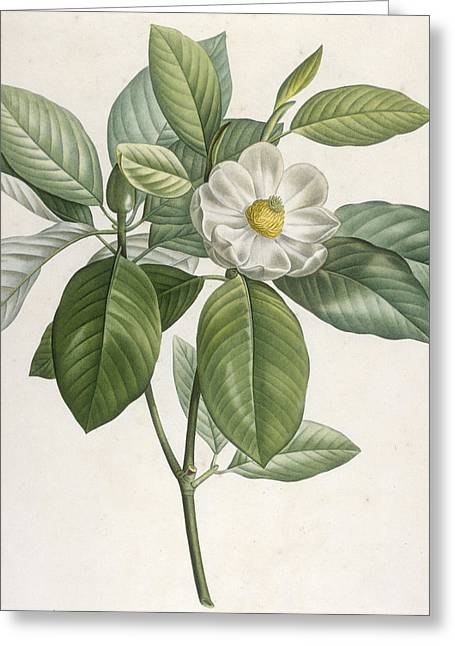 Floral Posters Greeting Cards - Magnolia Greeting Card by Pierre Joseph Redoute