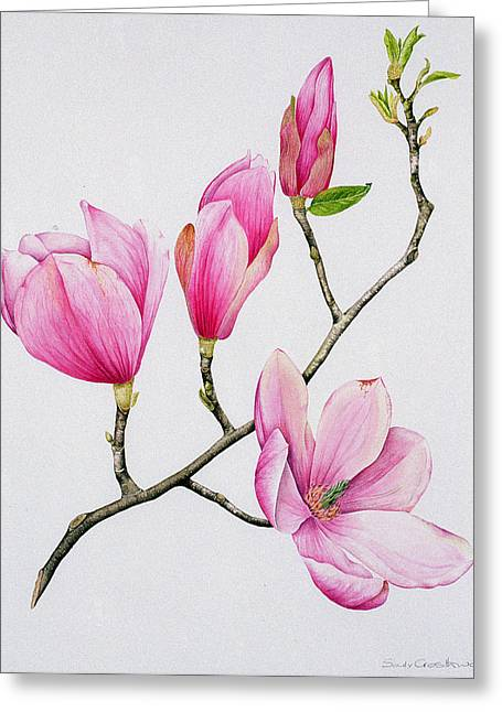 Flower Still Life Prints Greeting Cards - Magnolia Greeting Card by Sally Crosthwaite
