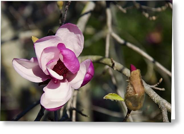 Pictures Of Trees Greeting Cards - Magnolia Tree Flower And Bud Greeting Card by Chris Flees
