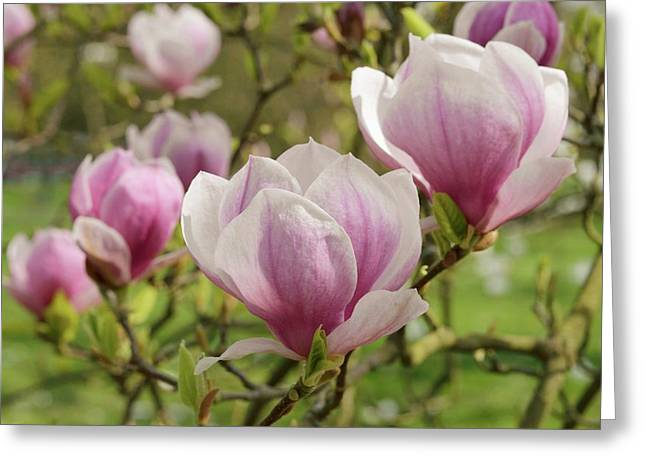 Magnolia X Soulangeana Flowers Greeting Card by Jane Sugarman