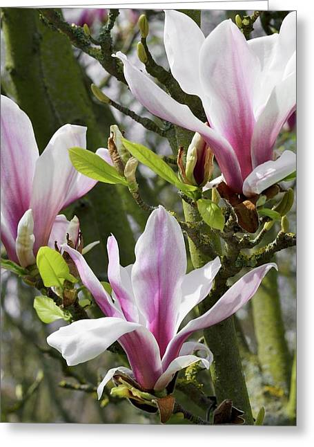 Magnolia X Soulangeana 'picture' Greeting Card by Jane Sugarman