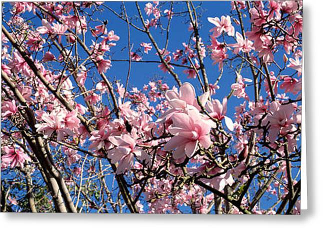 Flower Blooms Greeting Cards - Magnolias, Golden Gate Park, San Greeting Card by Panoramic Images