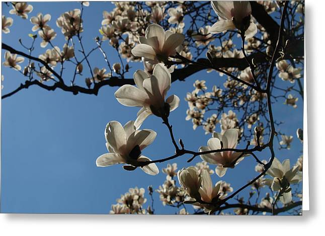Himmel Greeting Cards - Magnolias Greeting Card by Rita Haeussler