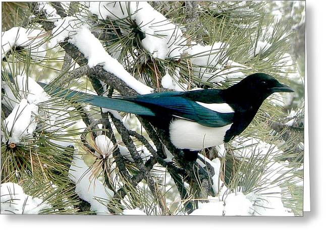 Magpies. Snow Greeting Cards - Magpie in the Snow Greeting Card by Marilyn Burton