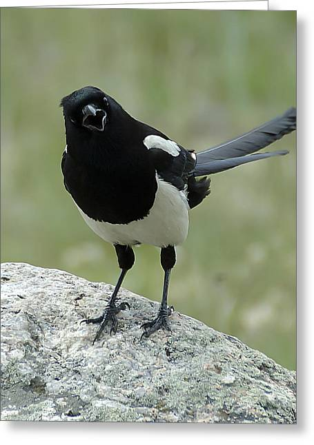 Black-billed Magpie Greeting Cards - Magpie Greeting Card by Lee Kirchhevel