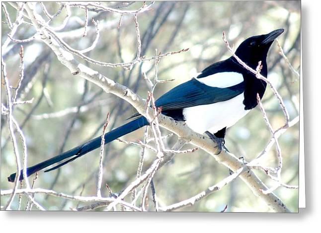 Magpie On Aspen Tree Greeting Card by Marilyn Burton