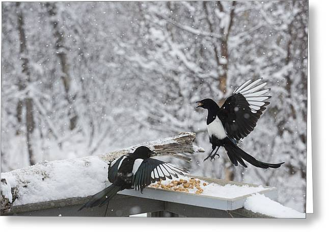 Magpies Greeting Cards - Magpies Dropping in for Lunch Greeting Card by Tim Grams
