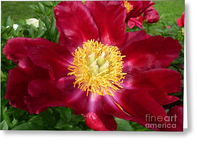 Mahogany Red Greeting Cards - Mahogany Peony Greeting Card by Lingfai Leung