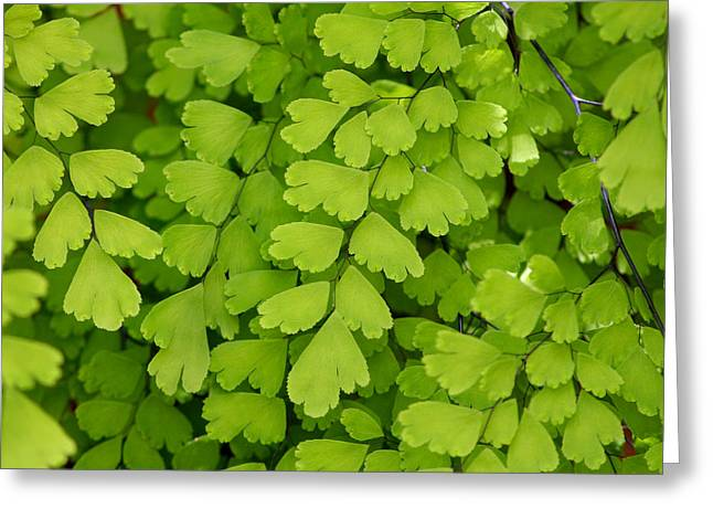 """square Art"" Photographs Greeting Cards - Maidenhair Fern Greeting Card by Art Block Collections"