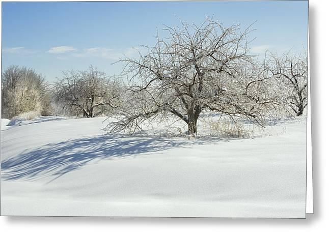 Apple Orchards Greeting Cards - Maine Apple Trees Covered In Ice And Snow Greeting Card by Keith Webber Jr