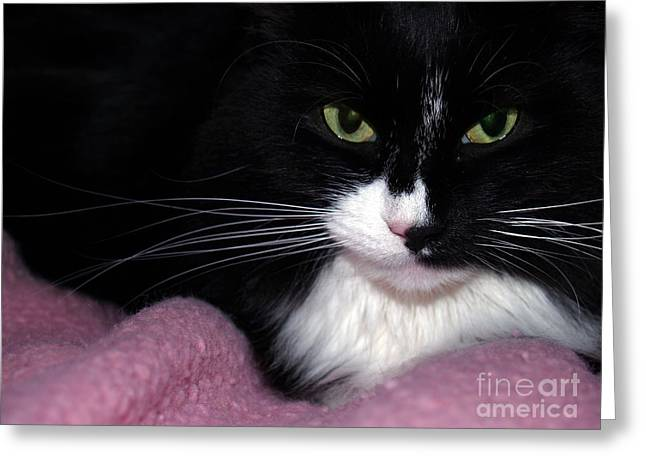 Pink Nose Greeting Cards - Maine Coon Eyes with Pink Blanket Greeting Card by Anna Lisa Yoder