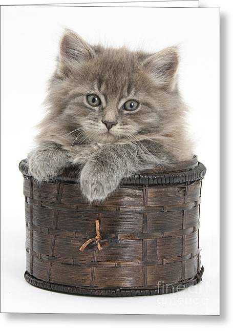 Old Maine Houses Greeting Cards - Maine Coon Kitten, Basket Greeting Card by Mark Taylor