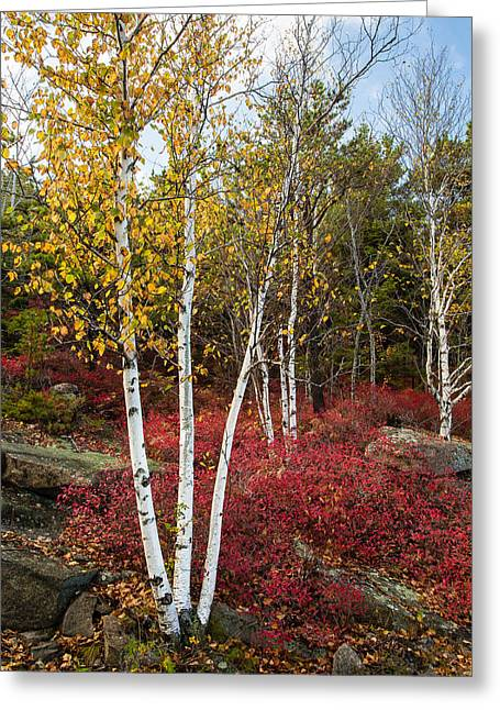 Maine's Acadia National Park White Birch Tree Photo Greeting Card by Bill Swindaman