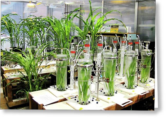 Maize Laboratory Research Greeting Card by Eric Schmelz/us Department Of Agriculture