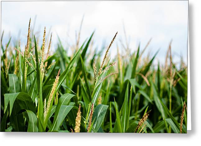 Porridge Greeting Cards - Maize on the field Greeting Card by Frank Gaertner